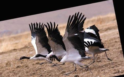 雅鲁藏布江上空时不时回荡起黑颈鹤高亢的鸣叫